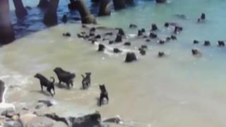 VIDEO: 'enfrentamiento' entre perros y lobos marinos se viraliza en redes sociales
