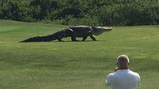 EEUU: enorme caimán se pasea tranquilamente por un campo de golf