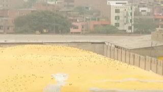 San Martín de Porres: miles de palomas invaden asentamiento Lampa de Oro