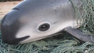 VIDEO: conoce a la vaquita marina, el cetáceo que está a punto de extinguirse