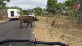 India: captan momento en que búfalo protege a turistas de leones