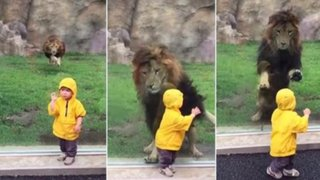 León intenta atacar a niño y se estrella contra vidrio en zoológico de Japón