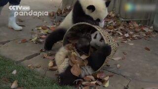 Así de difícil es hacer las tareas de limpieza cuando tienes que cuidar pandas