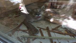 FOTOS: un puma se metió en la casa de una familia y no te imaginas lo que provocó