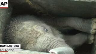 VIDEO: logran rescatar a la cría de un elefante tras caer a una zanja