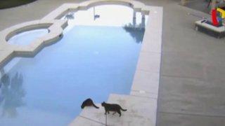 VIDEO: mira como este gato lanza a su compañero a una piscina