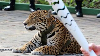 Brasil: matan a tiros a jaguar que participó en ceremonia olímpica