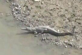 Presencia de cocodrilos en río Tumbes asustó a pobladores