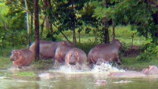 ¿Qué pasó con los hipopótamos de Pablo Escobar?