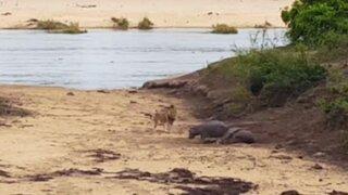 VIDEO: bebé hipopótamo defiende a su madre del ataque de un león