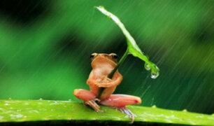 Captan a pequeña rana 'inteligente' que usa hoja como paraguas