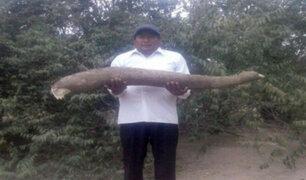 Lambayeque: Agricultor cosechó enorme yuca de 10 kilos