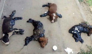 Perros son cubiertos con alquitrán en terrible caso de tortura en Rumania