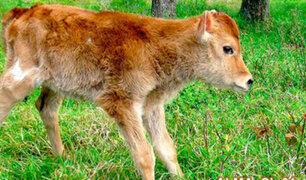 Conoce a Alma, el primer animal clonado en Perú