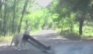 Tigre atacó a pareja en un safari de China