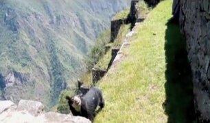 Machu Picchu: oso de anteojos sorprende a turistas