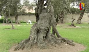 Bosque El Olivar: árboles virreinales se encuentran en peligro