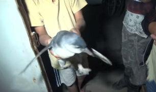 Rescatan a pingüino perdido por las calles de Chimbote