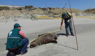 Serfor: confirman hallazgo de 39 lobos marinos muertos en playas de Talara