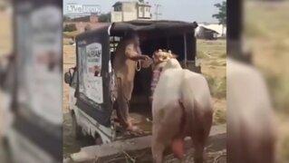 Vaca que se negaba a ser transportada mata a un anciano de una patada