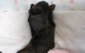 VIDEO: cría de murciélago enternece a las redes sociales