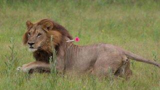 El extraño caso de las leonas de Botswana que se 'convirtieron' en machos