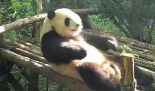 El atlético oso panda que hace abdominales sorprende a todos