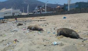 Chimbote: encuentran 11 lobos marinos muertos en la playa Caleta