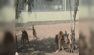 Parque de las Leyendas: presentan a canguro y búfalo bebés