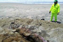Áncash: hallan muertos a 13 lobos marinos en playa Atahualpa