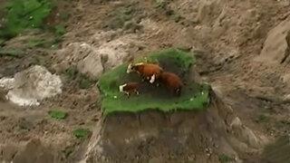 Impactantes imágenes de vacas que se salvaron tras terremoto en Nueva Zelanda