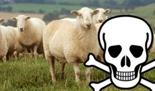 Francia: Un hombre muere por el brutal ataque ¡de una oveja!