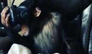 VIDEO: chimpancé experimenta la realidad virtual y esta fue su reacción