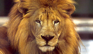 Sudáfrica: león intenta atacar a su cuidador