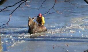 Bomberos canadienses rescatan a alce atrapado en hielo