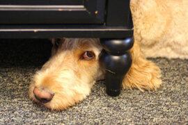 Evita que tu mascota sufra ataque de pánico por fuegos artificiales