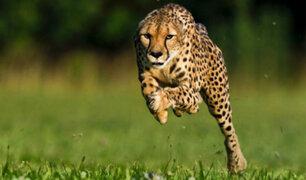 Advierten que guepardos corren el riesgo de extinguirse