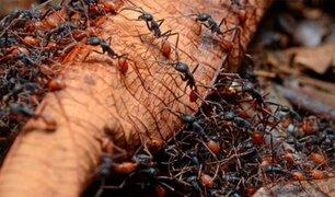 Bolivia: mujer atada a árbol muere por ataque de hormigas venenosas