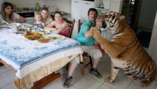 Adorables mascotas: conoce a la familia que convive con siete tigres en su casa
