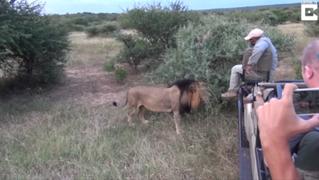 Turistas quedan en shock luego que león estuviera a centímetros de su Jeep
