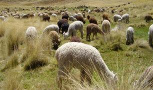 Arequipa: evacuan ganado afectado por volcán Sabancaya