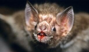 Estudio revela que murciélago vampiro ahora se alimenta de sangre humana