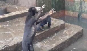 Indignación por osos desnutridos en un zoológico de Indonesia