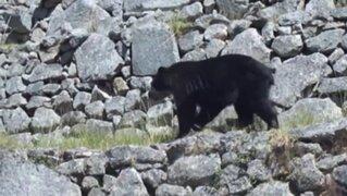 Cusco: oso de anteojos sorprendió a visitantes en Machu Picchu