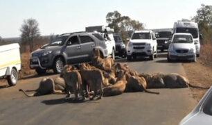 Leones paran el tráfico para devorarse a un búfalo