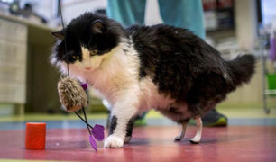 Bulgaria: gato biónico ya tiene sus patas traseras de titanio
