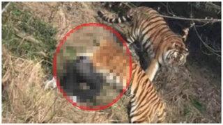 VIDEO: tigres atacan y matan a un turista en un zoológico de China