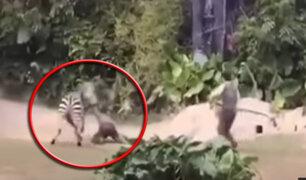 China: cebra ataca salvajemente a empleado de zoológico