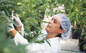 Cannabis en controversia: remedio o sustancia ilegal