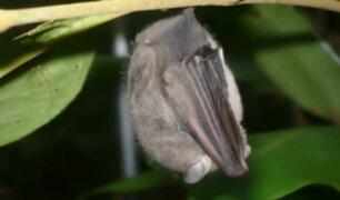 Ica: pánico por aparición de murciélagos en caserío Casablanca